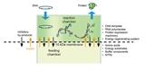 体外无细胞蛋白快速表达系统